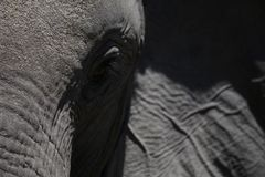 Elephants up close in black ann white royalty free stock images
