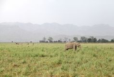 Elephants in the vast grassland of Dhikala Royalty Free Stock Photo