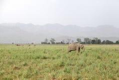 Elephants in the vast grassland of Dhikala Royalty Free Stock Photo