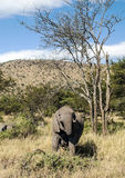 Elephants in vertical Royalty Free Stock Image