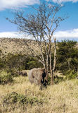 Elephants in vertical Royalty Free Stock Photos