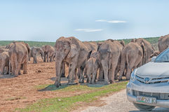 Elephants waiting to cross the road blocked by tourist cars royalty free stock photos