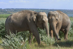 Elephants for a walk Royalty Free Stock Image