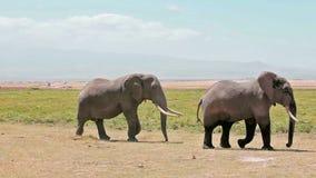 Elephants walking in Amboseli Park. Kenya stock footage