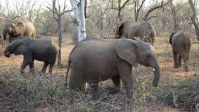 Elephants walking around during a safari Stock Photo