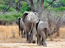 Elephants walking away towards the thick bush in south luangwa national park Stock Photo