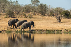 Elephants walking away from a waterhole Stock Photo
