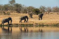 Elephants walking away from a waterhole Royalty Free Stock Photos