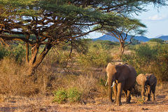 Elephants walking in the bush of africa. At sunset Royalty Free Stock Photos