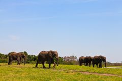 Elephants walking  Between the bushes Stock Image