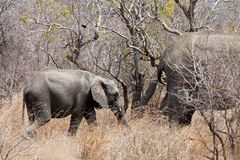 Elephants walking  Between the bushes Royalty Free Stock Photos