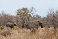 Elephants walking  Between the bushes Stock Photos