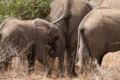 Elephants walking  Between the bushes Royalty Free Stock Images