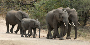 Elephants walking on dirt road. Group of Elephants walking on a dirt road in Kruger National Park, South Africa Royalty Free Stock Photos
