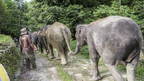 Elephants walking down jungle path holding tails Royalty Free Stock Photography