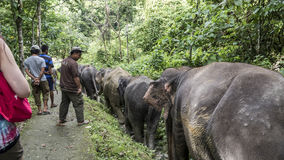 Elephants walking down jungle path Royalty Free Stock Images