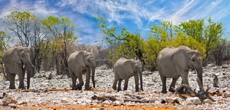 Herd of elephants on the rocky terrain in Etosha, Namibia. Elephants walking through on the dry rocky terrain with anatural bushveld and blue sky background Stock Photos