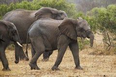Elephants walking Stock Images