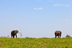 Elephants walking on a grassland Royalty Free Stock Image