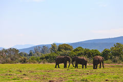 Elephants walking on a grassland Stock Image