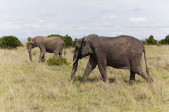Elephants walking, Kenya Stock Image