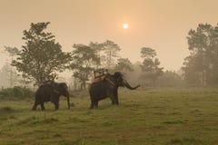 Elephants walking on the lawn at Elephant safari tour Chitwan national Park Nepal. Sunrise Stock Photos