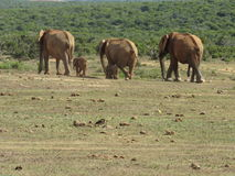 Elephants walking in a line. A small herd of elephants walking away in a line Royalty Free Stock Photo