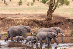 Elephants walking by while lions hiding behind a tree Stock Photography