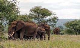 Elephants walking Stock Photo