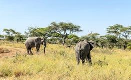 Elephants walking Royalty Free Stock Photography