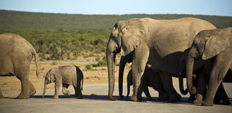 Elephants walking in the road. Elephants walking along the road on a beautiful day Royalty Free Stock Photo