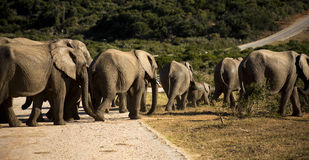 Elephants walking in the road. Elephants walking along the road on a beautiful day Stock Photography