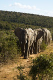 Elephants walking in the road. Elephants walking along the road on a beautiful day Royalty Free Stock Images