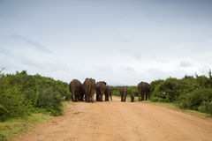 Elephants walking in the road. Elephants walking along the gravel road in the rain Royalty Free Stock Images