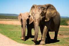 Elephants walking by a road. Two elephants walking by a road Stock Photo