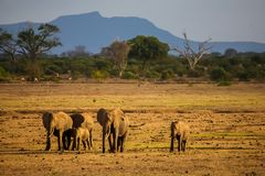 Elephants are walking in the savannah of Kenya. In the background are mountains and trees Stock Photo