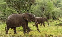 Elephants walking, Serengeti, Tanzania Stock Photos