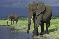 Elephants walking slowly to water Stock Photos
