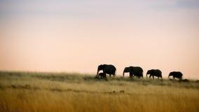 Elephants walking at sunset Stock Images