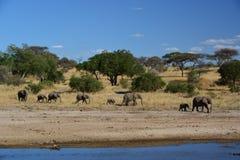 Elephants walking in Tanzania Royalty Free Stock Photo