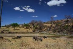 Elephants walking in Tanzania Royalty Free Stock Photography