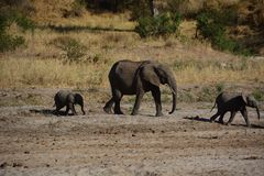 Elephants walking in Tanzania Stock Photo