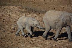 Elephants walking in Tanzania Royalty Free Stock Photos
