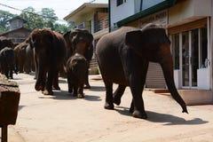 Elephants walking to the Maha Oya River. Pinnawala Elephant Orphanage. Sri Lanka. Pinnawala Elephant Orphanage is an orphanage, nursery and captive breeding royalty free stock photos
