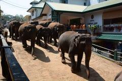 Elephants walking to the Maha Oya River. Pinnawala Elephant Orphanage. Sri Lanka. Pinnawala Elephant Orphanage is an orphanage, nursery and captive breeding royalty free stock photo