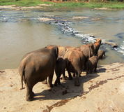 Elephants are walking to river Stock Photo