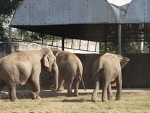 Elephants walking together royalty free stock images