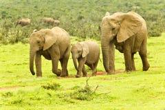 Elephants walking towards a waterhole Royalty Free Stock Photography