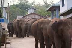 Elephants walking through village Royalty Free Stock Images