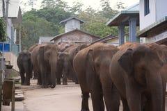 Elephants walking through village. Herd of elephants walking down a dirt street through a small village Royalty Free Stock Images